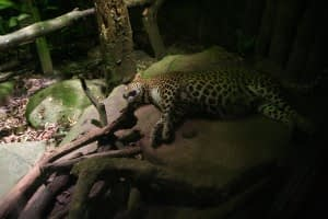 A leopard at Night Safari Singapore